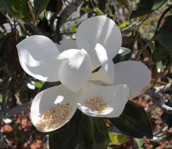 Photograph - Magnificent Magnolia by Philip Bracco