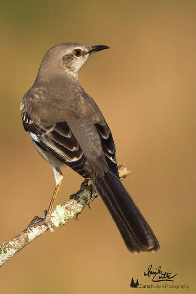 Photograph - magnificent Mockingbird by David Cutts