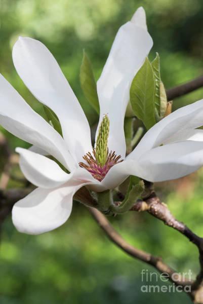 Wall Art - Photograph - Magnolia Alba Superba Flower by Tim Gainey