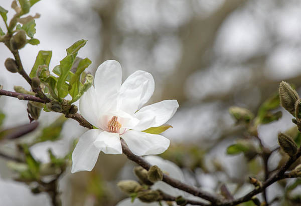 Photograph - Magnolia Blossom 0160 By Tl Wilson Photography by Teresa Wilson