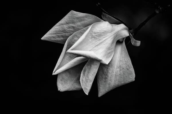 Photograph - Magnolia Blossom by Marzena Grabczynska Lorenc