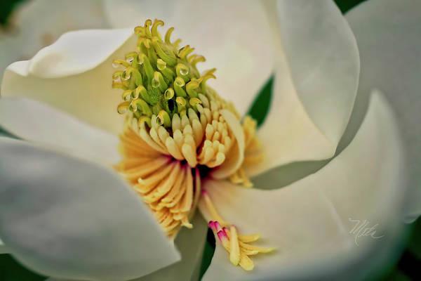 Photograph - Magnolia Blossom by Meta Gatschenberger