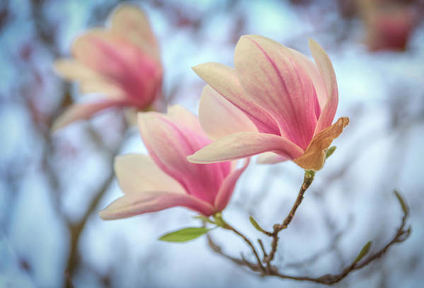 Photograph - Magnolia Blossoms by Kristen Wilkinson