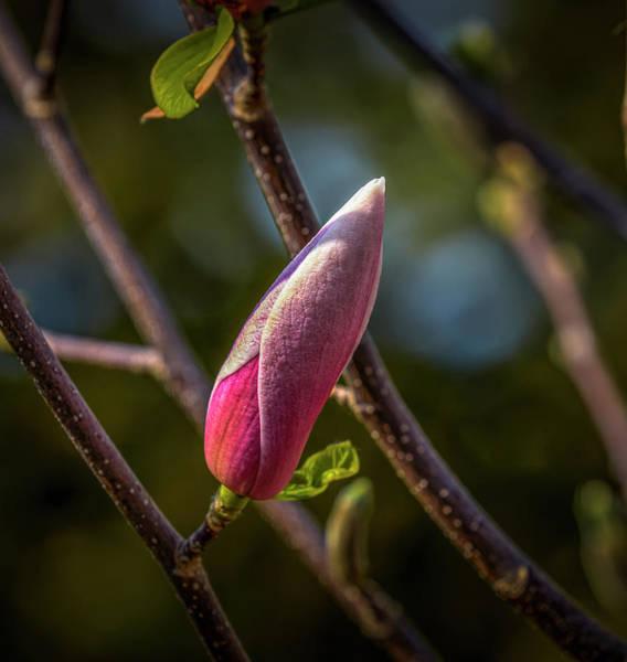 Photograph - Magnolia Bud #i7 by Leif Sohlman