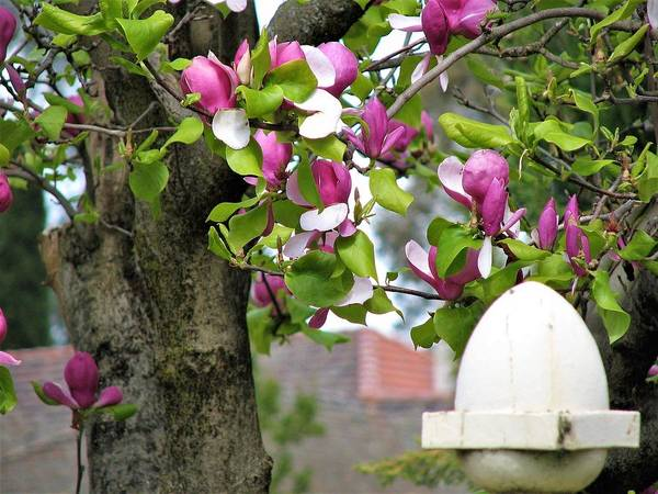 Photograph - Magnolia Display by Joan Stratton