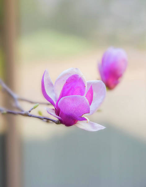 Photograph - Magnolia by Jonathan Hansen