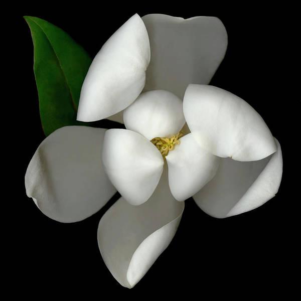 Shy Photograph - Magnolia Magnolia Sp Blossom, Close-up by John Grant