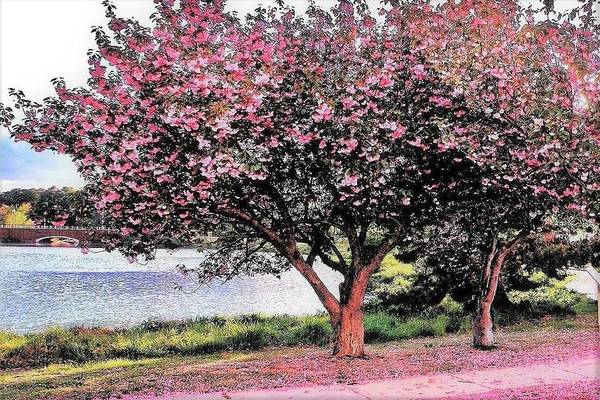 Photograph - Magnolias By The Lake by Kim Bemis