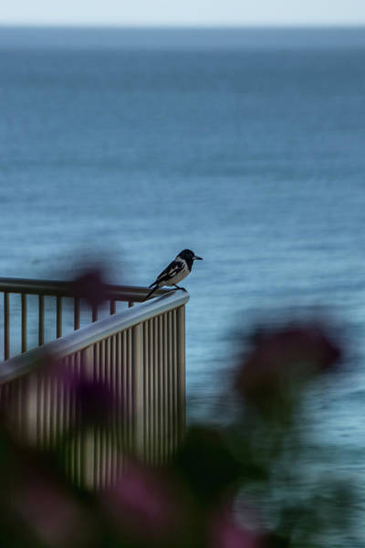 Photograph - Magpie Bird by Uncle Arny