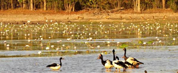 Wall Art - Photograph - Magpie Geese And Wallabies by Joan Stratton