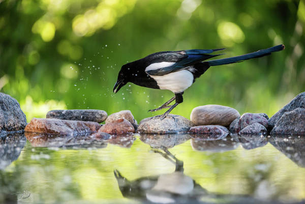 Photograph - Magpie In Profile Jumping On The Rocks At The Pond by Torbjorn Swenelius