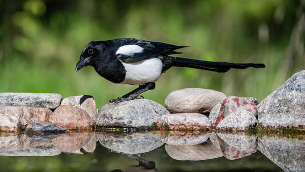Photograph - Magpie In Profile On The Rocks At The Pond by Torbjorn Swenelius
