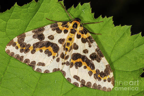 Photograph - Magpie Moth by Brian Roscorla