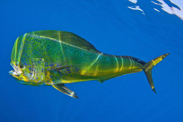 Bait Ball Photograph - Mahi by Adrian E Gray