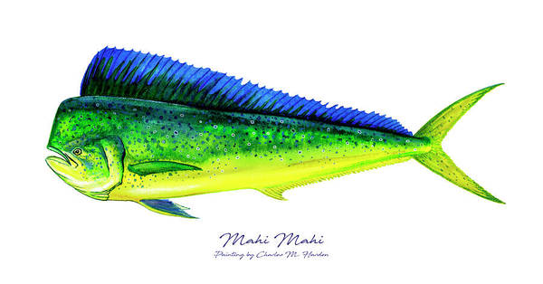 Bait Wall Art - Painting - Mahi Mahi by Charles Harden