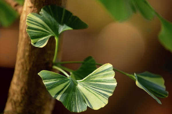 Photograph - Maidenhair Tree by Dale Kincaid