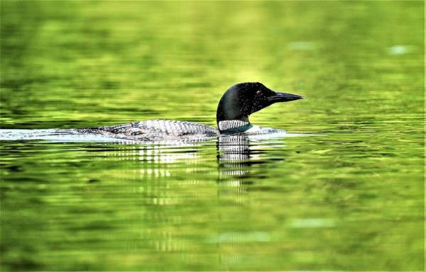 Wall Art - Photograph - Maine Common Loon by Paul Carlisle Barnes