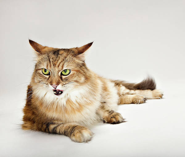 Maine Coon Cat Laying Art Print