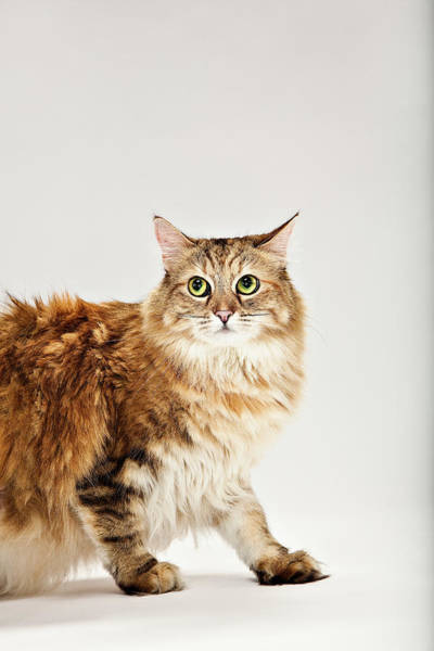 Maine Coon Cat Looking Up Art Print
