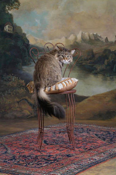Maine Coon Cat Sitting On Chair Art Print