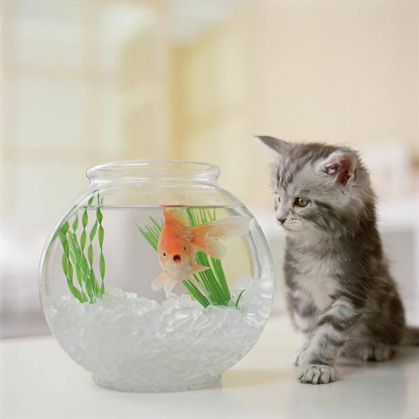 Maine Coon Kitten Looking At Goldfish Art Print