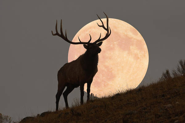 Look Away Photograph - Majestic Bull Elk And Full Moon Rise by Mark Miller Photos