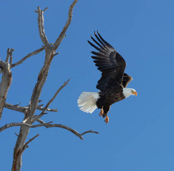 Photograph - Majestic Freedom Flight by Jaquita Watters
