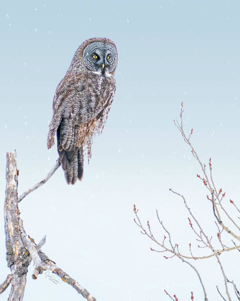 Photograph - Majestic Great Gray Owl by Judi Dressler