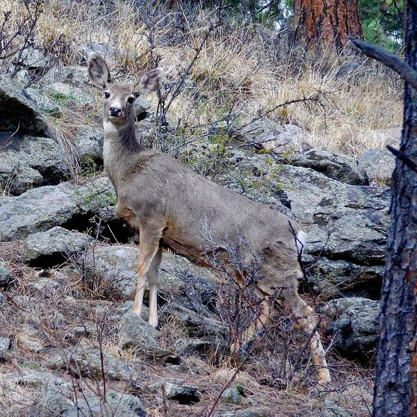 Photograph - Majestic Mule Deer by Dan Miller
