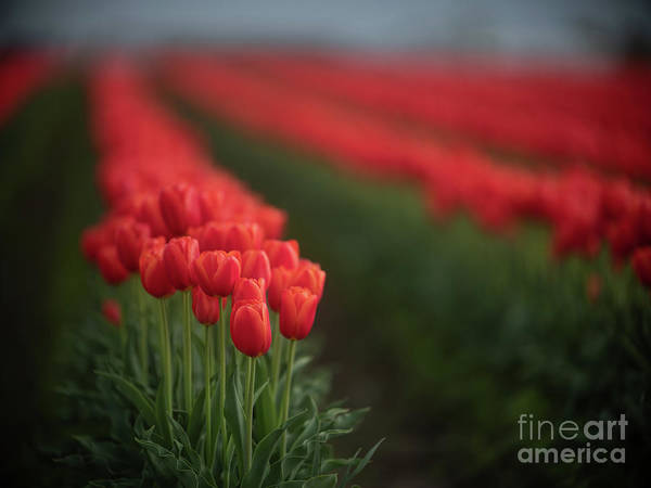 Wall Art - Photograph - Majestic Row Of Red Tulips by Mike Reid