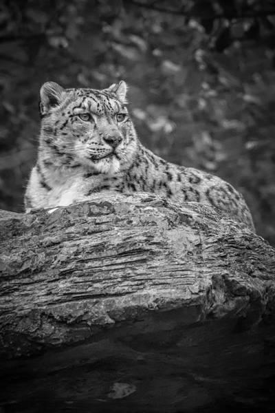 Photograph - Majestic Snow Leopard - Bw by Chris Boulton