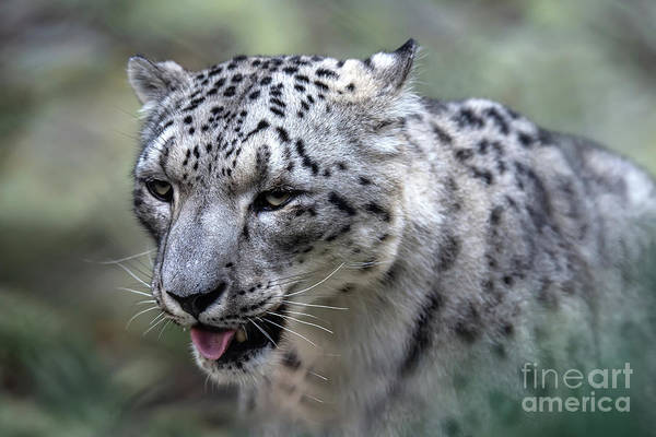 Photograph - Majestic Snow Leopard by Ed Taylor