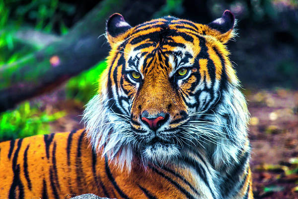 Wall Art - Photograph - Majestic Sumatran Tiger by Garry Gay