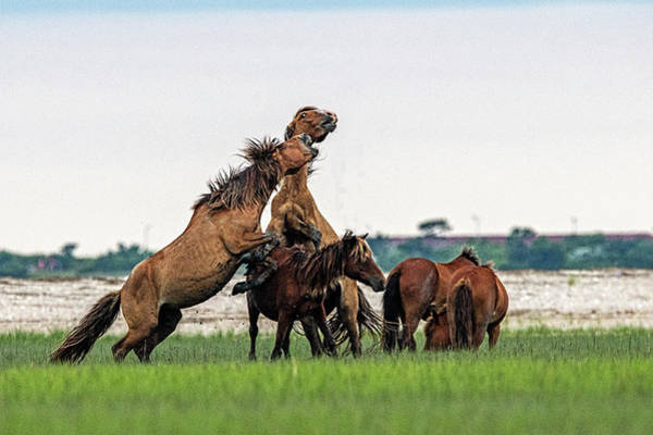 Photograph - Major Fight Between Two Stallions by Dan Friend