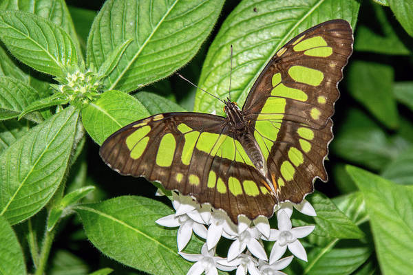 Photograph - Malachite Beauty Butterfly 6402-040619 by Tam Ryan