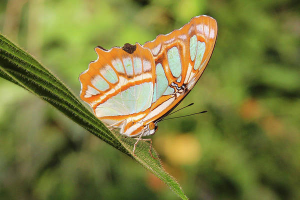 Wall Art - Photograph - Malachite Butterfly  by Marlin and Laura Hum