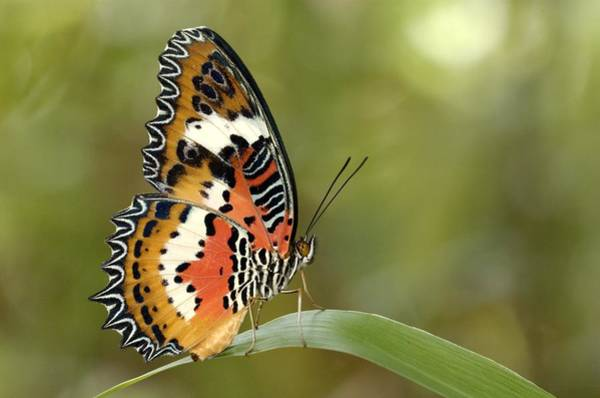 Wing Back Photograph - Malay Lacewing Cethosia Hypsea In by Tcp