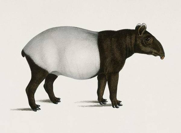 African Penguin Painting - Malayan Tapir  Equus Montanus  Illustrated By Charles Dessalines D' Orbigny  1806-1876  by Celestial Images