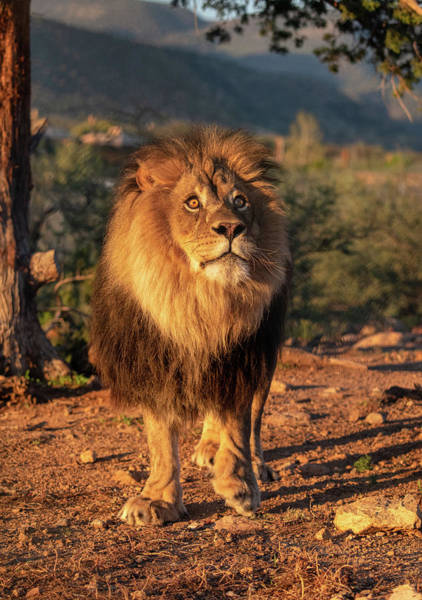Photograph - Male African Lion In Early Light by Gloria Anderson
