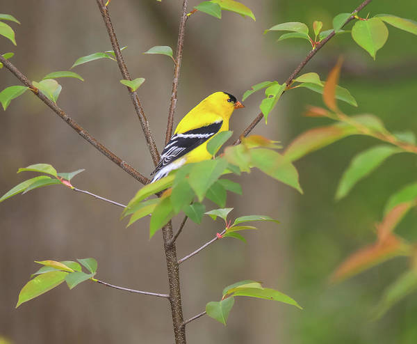 Photograph - Male American Goldfinch by Dan Sproul