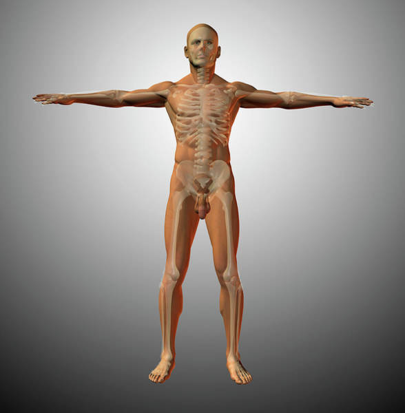 Photograph - Male Anatomy Showing Skeletal System by Bruce Rolff