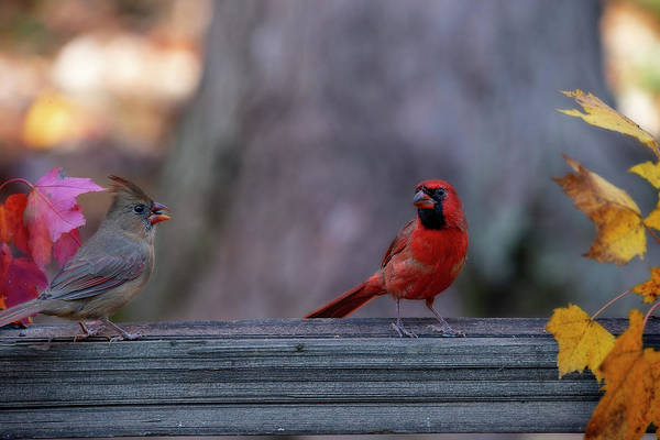 Photograph - Male And Female Cardinals On Fence by Dan Friend