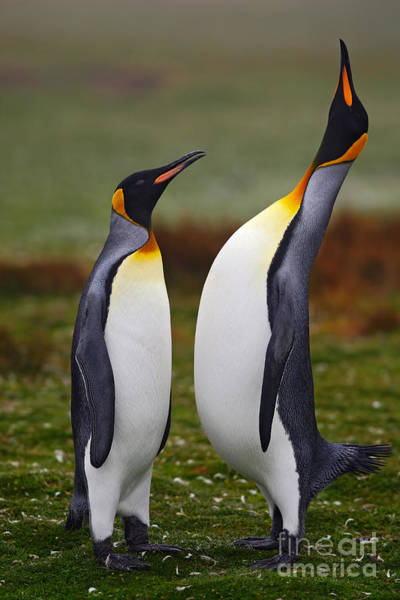 Two Friends Wall Art - Photograph - Male And Female Of King Penguin, Couple by Ondrej Prosicky