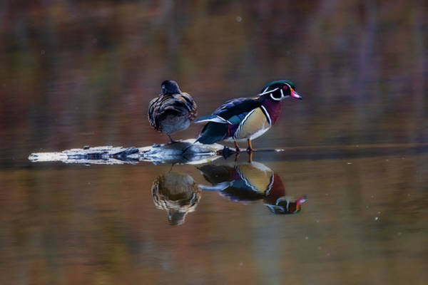 Photograph - Male And Female Wood Ducks In Middle Of Stream by Dan Friend