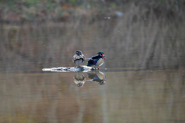 Photograph - Male And Female Wood Ducks On Island by Dan Friend