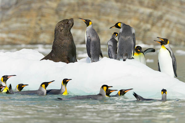 King Harbor Photograph - Male Antarctic Fur Seal And King by Eastcott Momatiuk