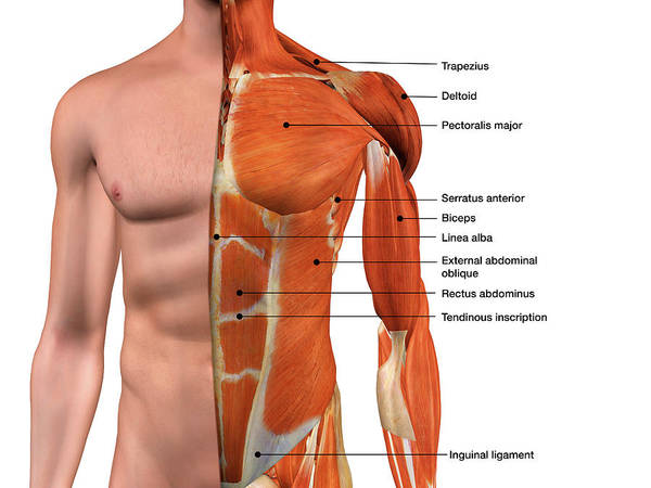 Wall Art - Photograph - Male Anterior Thoracic Wall Chest by Hank Grebe