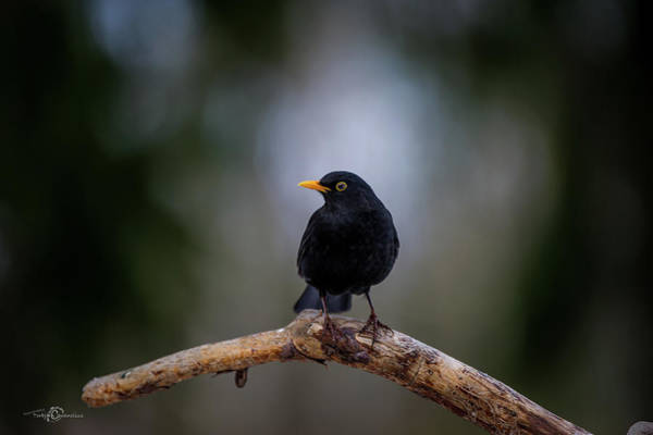 Photograph - Male Blackbird Perching On An Old Pine Branch by Torbjorn Swenelius