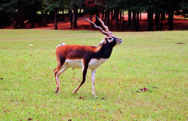 Photograph - Male Blackbuck  by Cynthia Guinn