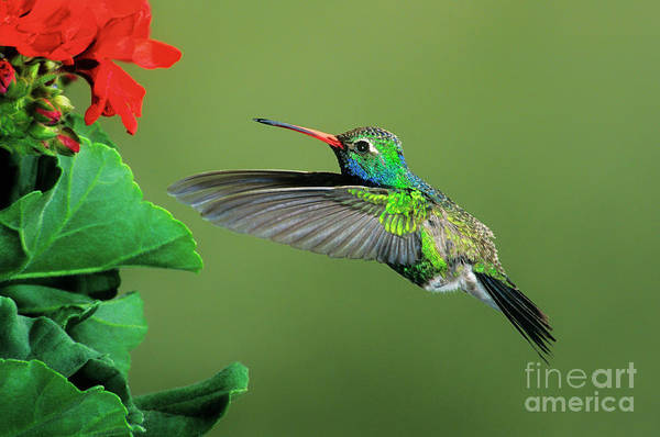 Photograph - Male Broad-billed Hummingbird At Red Flower by Dave Welling